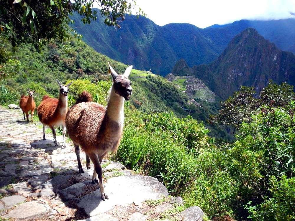 Lamas - Machu Picchu: les secrets d'une aventure à moins de 99 $ - Nomad junkies