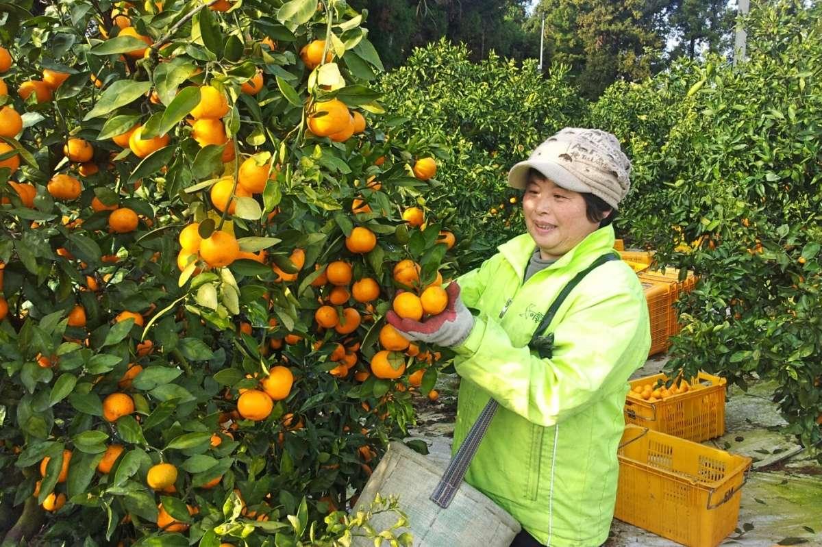 Oranges Jeju - Corée du Sud sur un coup de tête - Nomad Junkies