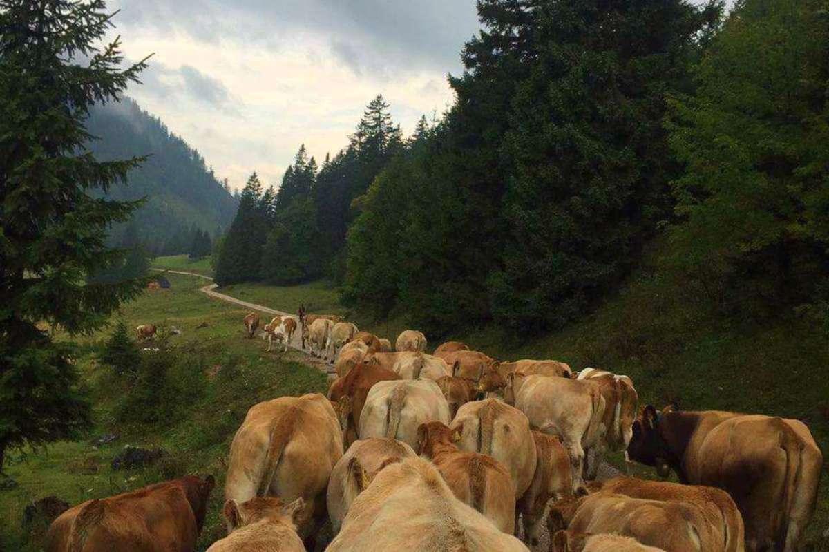 Vaches - Hoidarin : Explorer les Alpes grâce à un métier hors de l'ordinaire - Nomad Junkies