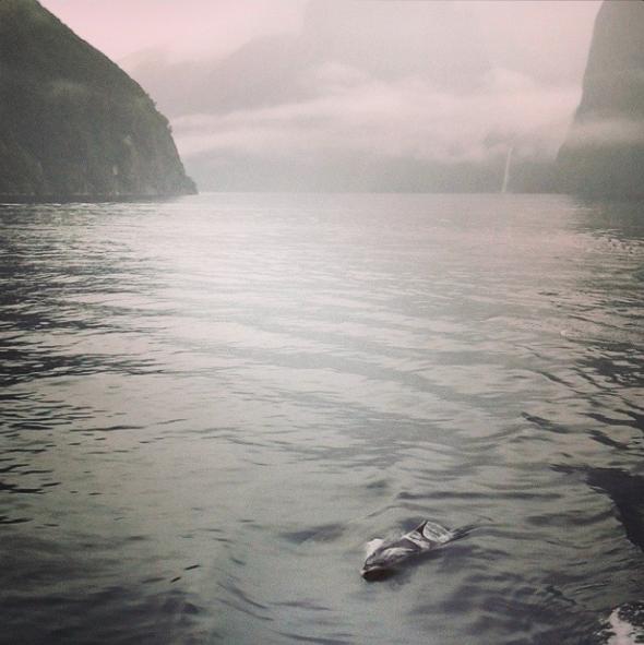 Milford Sound Dauphins