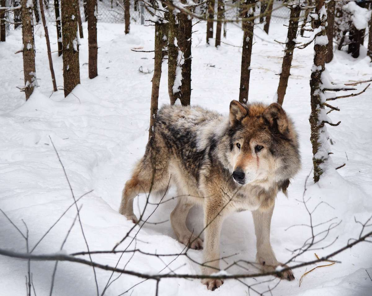 Loup refuge pageau Abitibi Temiscamingue Nomad Junkies