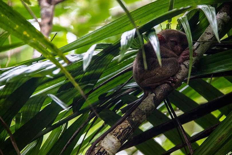 Sanctuaire tarsiers des Philippines - Bohol et Cebu : deux îles hors des sentiers battus aux Philippines - Nomad Junkies
