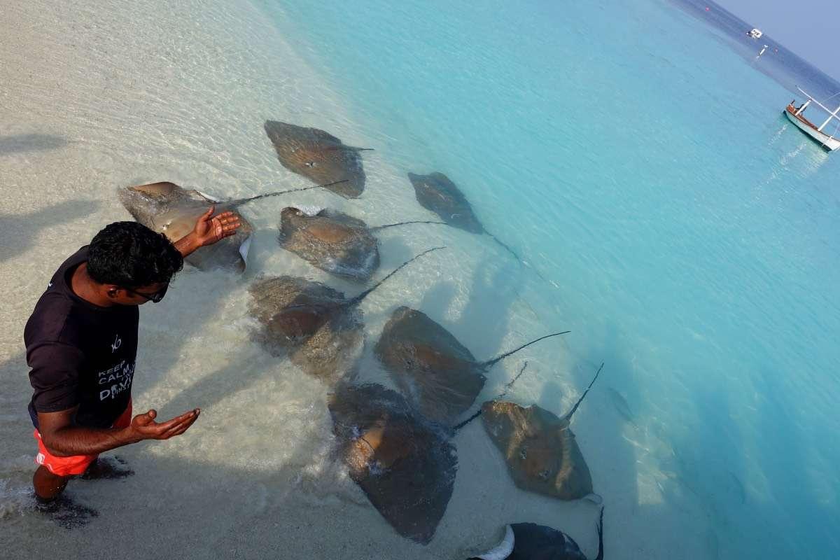 Raies - Maldives : 10 raisons pourquoi ça devrait être ta prochaine destination de rêve - Nomad Junkies