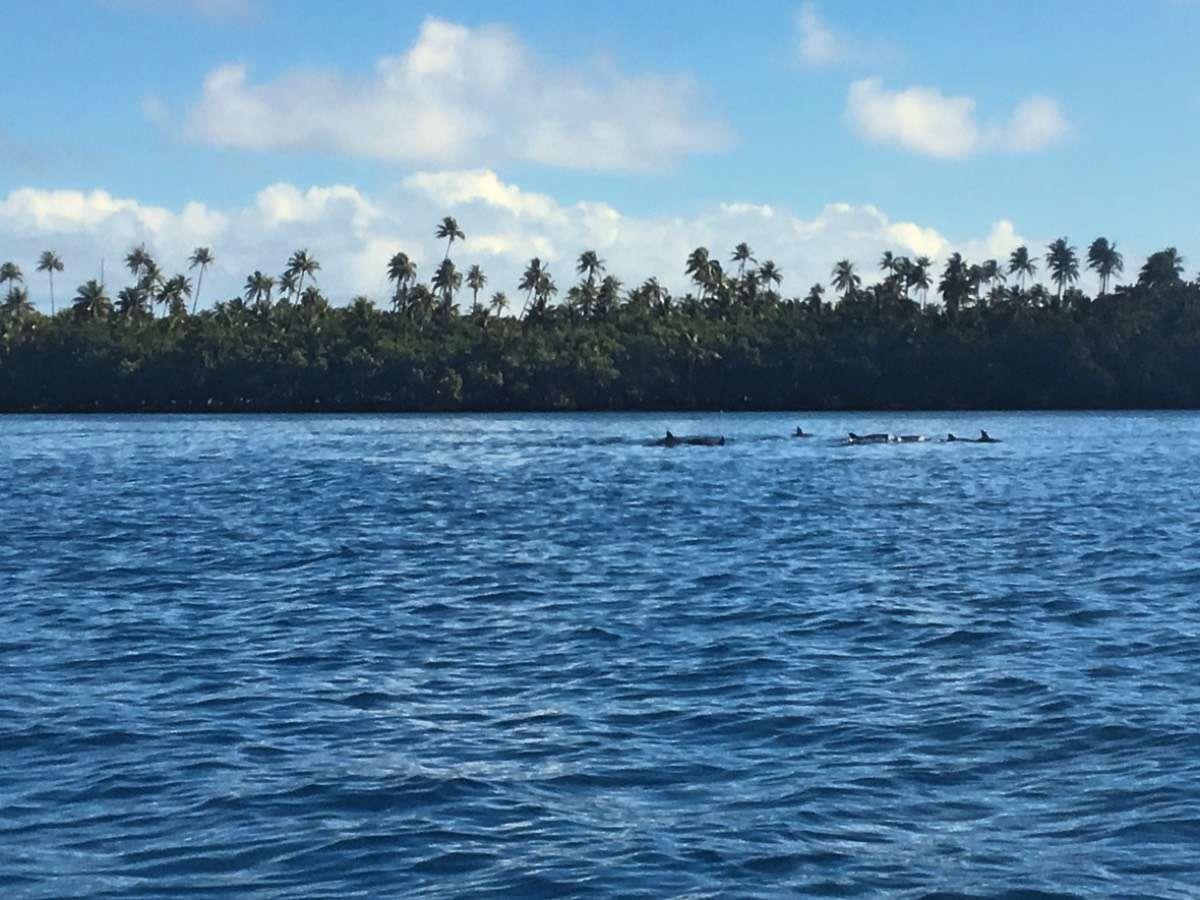 Dauphins - 5 conseils pour voyager en backpack en Polynésie française - Nomad Junkies